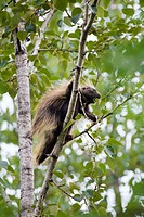 North American porcupine (Erethizon dorsatum) climbing in a tree, Alaska, USA, North America