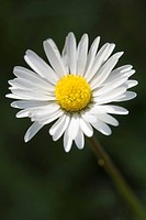 Common Daisy or Lawn Daisy Bellis perennis