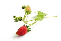 Strawberry with ripeness stages