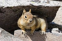 Golden-mantled Ground Squirrel (Spermophilus lateralis), Mount Rainier Nationalpark, Washington, USA