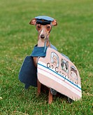 Italian Greyhound in a greyhound bus costume