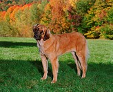 Leonberger