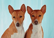 Basenji, two Basenji dogs