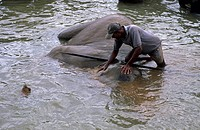 Mahout cleaning a elephant in a river, Sri Lanka