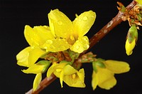 Blossoming Forsythia with rain drops in spring