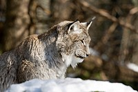 Eurasian lynx (Lynx lynx), Bavarian Forest National Park, Bavaria, Germany, Europe