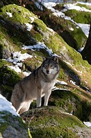 Grey Wolf Canis lupus, Bavarian Forest National Park, Bavaria, Germany, Europe