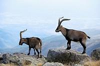 Males Spanish Ibex in Morezón peak 2 393 m next to the Circo de Gredos  Mountains of the Sierra de Gredos National Park  Navacepeda de Tormes  Ávila  ...
