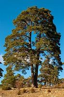 Scots Pine (Pinus sylvestris), Serrania de Cuenca Natural Park, Cuenca province, Castilla-La Mancha, Spain