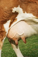 Brown cow outdoors close_up of udder