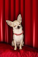 Chihuahua eyes closed sitting on red pillow (thumbnail)