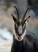 Chamois rupicapra rupicapra head and shoulders