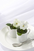 White pansies in coffee mugs