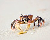 Ghost crab on the beach at Lamu Island, Kenya