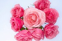 Bunch of pink roses, white background