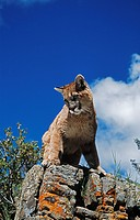Young mountain lion Felis concolor looks down from rock outcrop