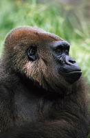Gorilla profile portrait