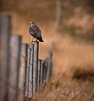 Swainson´s Hawk on a fence