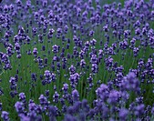 Lavender in field