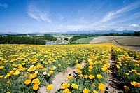 Farm and flower crop, Biei, Hokkaido, Japan
