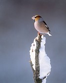 Hawfinch perched on branch, Kawayu, Hokkaido, Japan