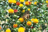 Butterfly on Safflower plant