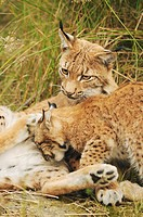 Eurasian lynx and cub on meadow / Lynx lynx