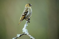 Eurasian Siskin female on twig / Carduelis spinus