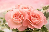 Close_up of pink roses