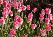 This landscape photo shows a large patch of white and pink tulips blooming in spring Background is purposely blurred for artistic effect
