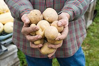 Farmer holding potatoes