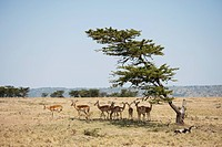 Impala, Kenya, Africa