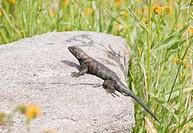 A granite spiny lizard Sceloporus orcutti, Riverside County, California, USA