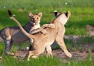 African lion Panthera leo - Cubs, playing  Rainy season, Kgalagadi Transfrontier Park, Kalahari desert, South Africa