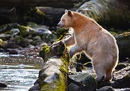 Kermode Bear Hunting For Food in River