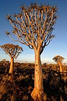 Quiver trees, Keetmanshoop, Namibia, Africa