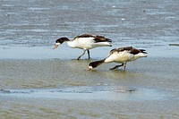 Shelduck Tadorna tadorna, two feeding on mudflats, Texel, Holland