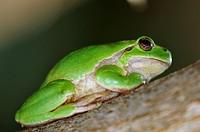 Common Treefrog (Hyla arborea kretensis) is quite common on Crete