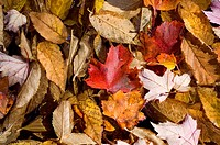 Autumn leaves on Forest Floor, Background texture