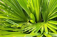 Palm Frond abstract green background texture