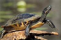 Turtle sunning on log - pond slider