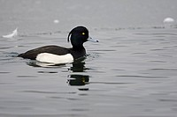 Tufted Duck Aythya fuligula adult male, swimming at edge of ice, Whitlingham, The Broads, Norfolk, England, january