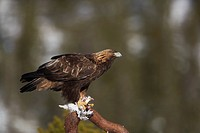 Golden Eagle Aquila chrysaetos adult male, perched on snag, feeding on Rock Ptarmigan Lagopus mutus prey, Norway