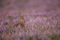 Red Grouse Lagopus lagopus scoticus adult, standing amongst flowering heather on moorland, Derbyshire, England