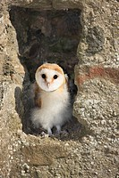 Barn Owl Tyto alba young, standing at nest entrance in building, Germany
