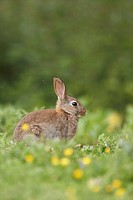 European Rabbit Oryctolagus cuniculus immature, sitting amongst buttercups and thistles in meadow, Shropshire, England
