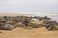 Grey Seal Halichoerus grypus adults and immatures, colony resting on beach, Donna Donna Nook, Lincolnshire, England