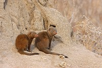 Southern Dwarf Mongoose Helogale parvula adult and immature, sitting at base of termite mound, South Africa