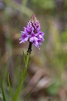 Madeira Orchid Dactylorhiza foliosa flowering, Madeira