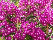 Garden phlox Phlox paniculata ´Wenn schon denn schon´